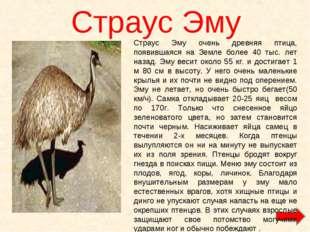 Страус Эму Страус Эму очень древняя птица, появившаяся на Земле более 40 тыс.