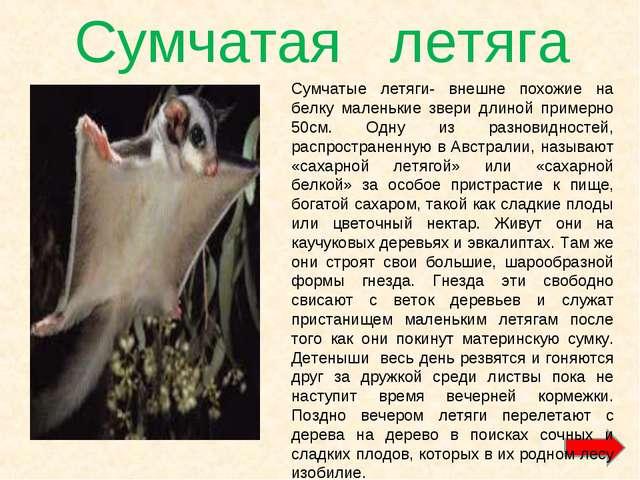 Сумчатая летяга Сумчатые летяги- внешне похожие на белку маленькие звери длин...
