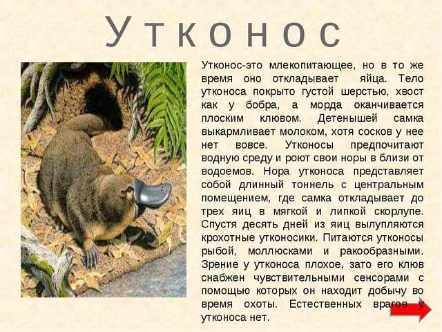 У т к о н о с Утконос-это млекопитающее, но в то же время оно откладывает яйц...