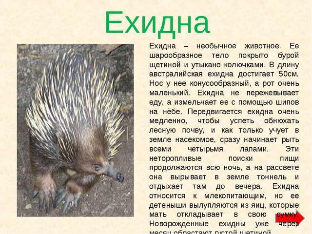 Ехидна Ехидна – необычное животное. Ее шарообразное тело покрыто бурой щетино...