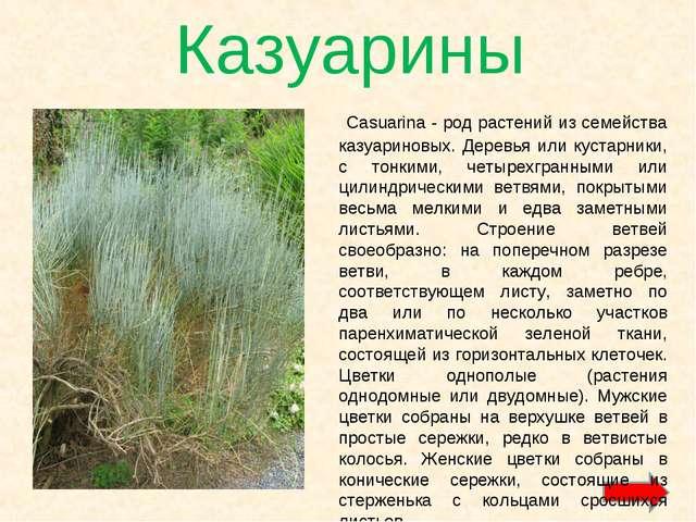 Казуарины Casuarina - род растений из семейства казуариновых. Деревья или кус...