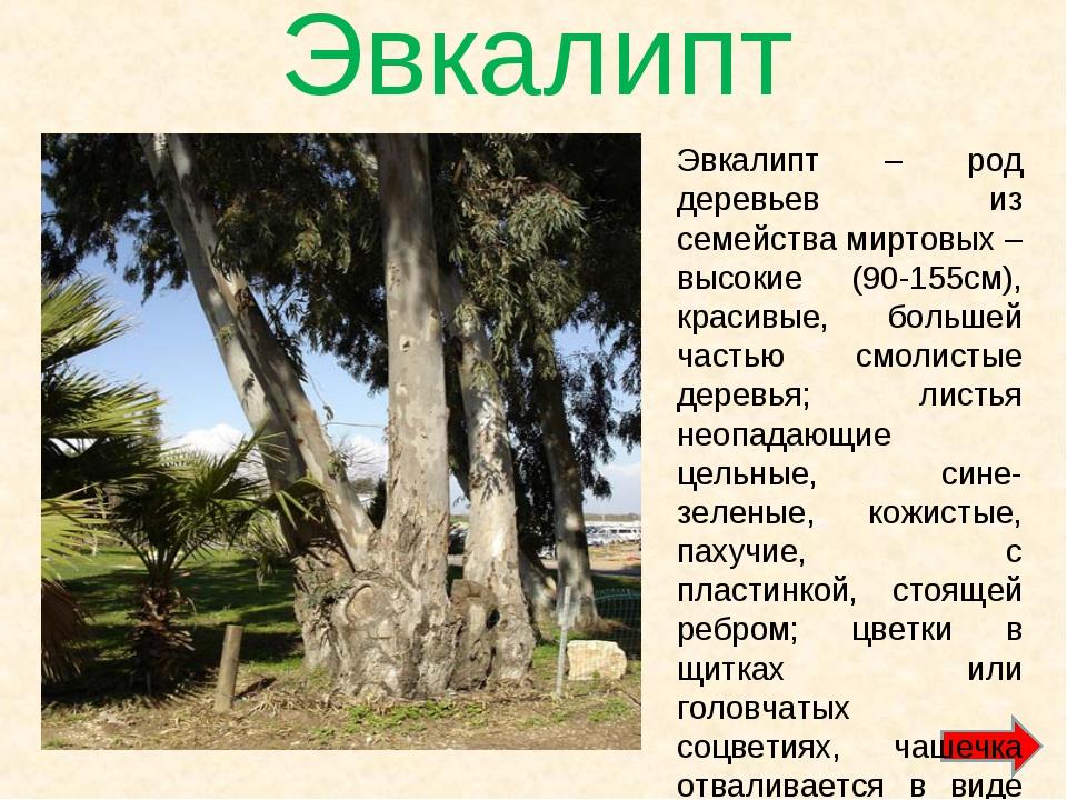 Эвкалипт Эвкалипт – род деревьев из семейства миртовых – высокие (90-155см),...