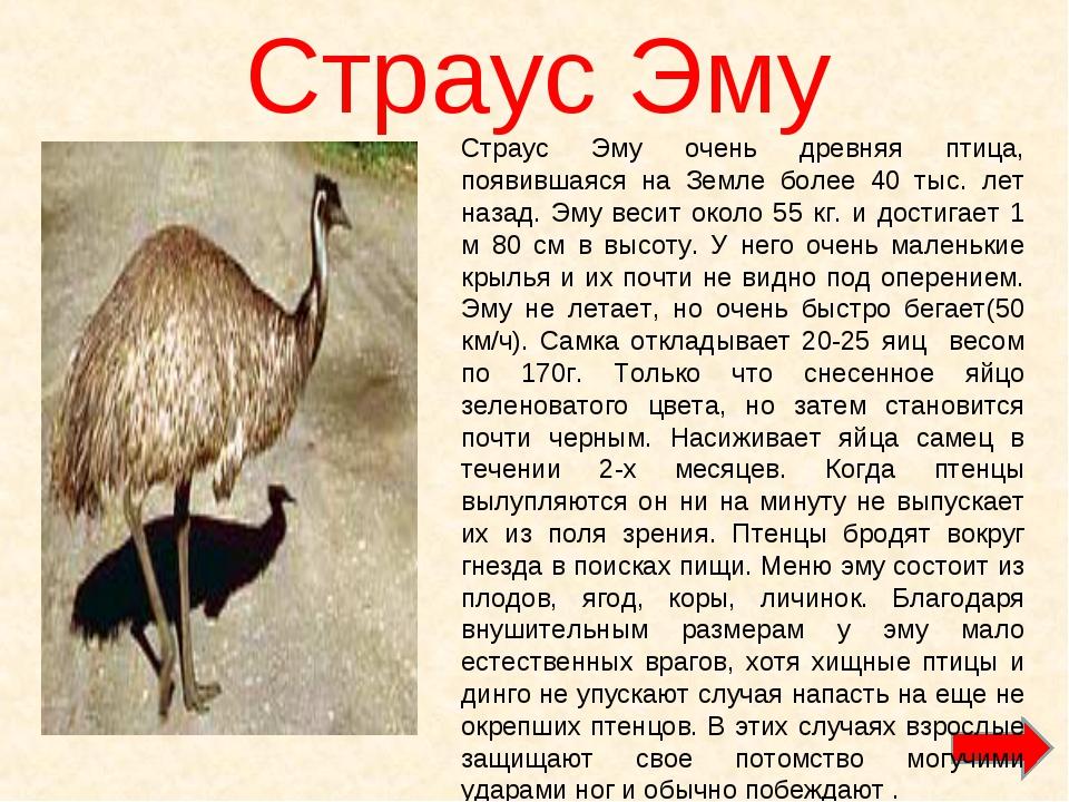 Страус Эму Страус Эму очень древняя птица, появившаяся на Земле более 40 тыс....