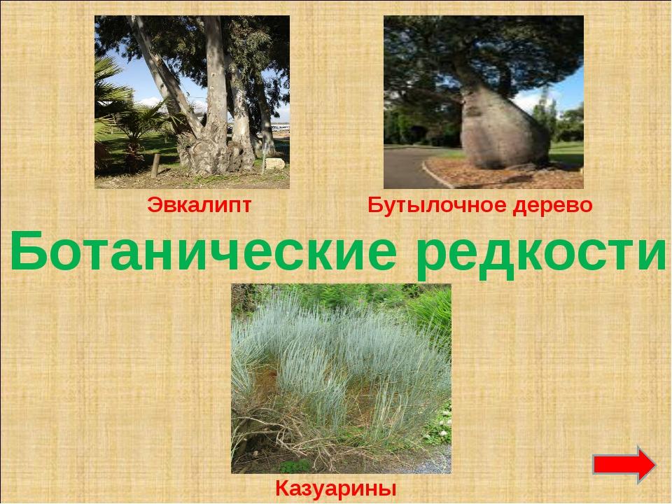 Ботанические редкости Эвкалипт Бутылочное дерево Казуарины