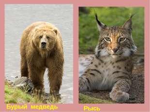 Рысь Бурый медведь