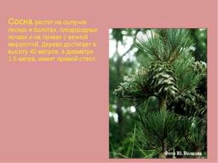 Сосна растет на сыпучих песках и болотах, плодородных почвах и на почвах с ве