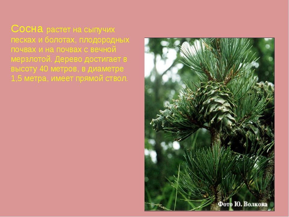 Сосна растет на сыпучих песках и болотах, плодородных почвах и на почвах с ве...
