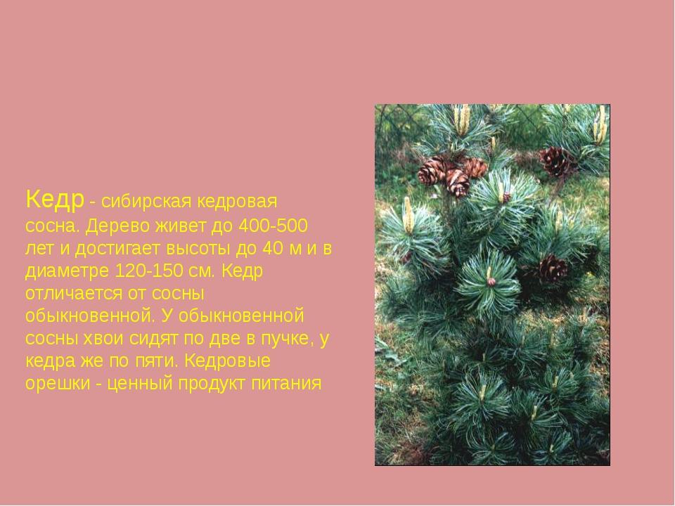 Кедр - сибирская кедровая сосна. Дерево живет до 400-500 лет и достигает высо...