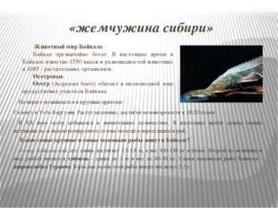 «жемчужина сибири» На нерест поднимается в крупные притоки: Селенгу и Усть-Ба