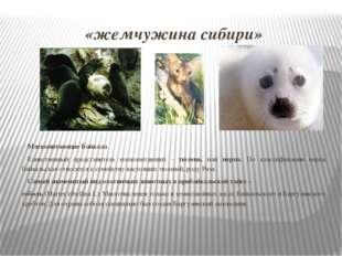 «жемчужина сибири» Млекопитающие Байкала Единственный представитель млекопита