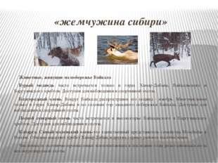 «жемчужина сибири» Животные, живущие на побережье Байкала Бурый медведь часто