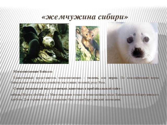«жемчужина сибири» Млекопитающие Байкала Единственный представитель млекопита...