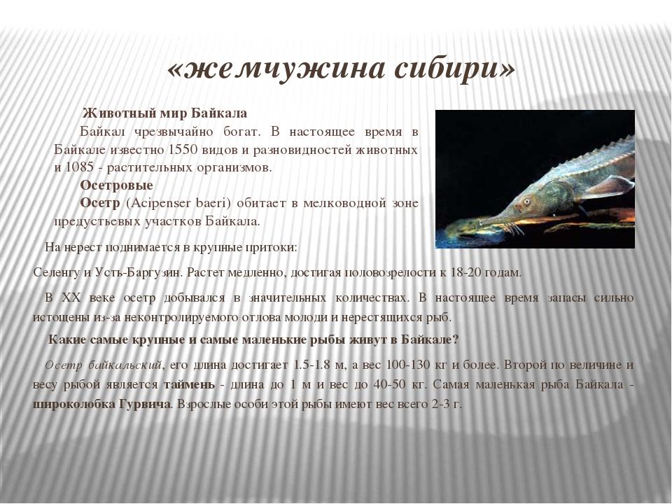 «жемчужина сибири» На нерест поднимается в крупные притоки: Селенгу и Усть-Ба...
