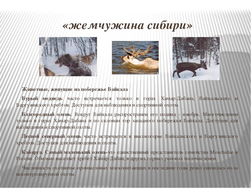 «жемчужина сибири» Животные, живущие на побережье Байкала Бурый медведь часто...