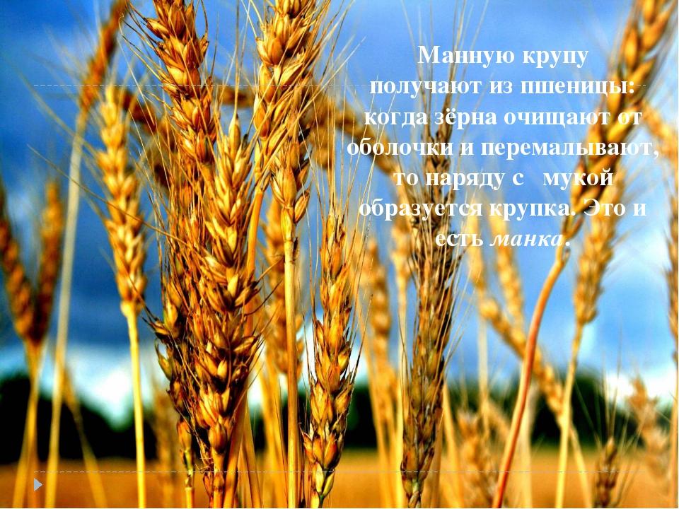 Манную крупу получают из пшеницы: когда зёрна очищают от оболочки и перемалыв...