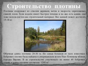 Обычная длина плотины 20-30 м. Но самая большая из всех известных бобровых пл