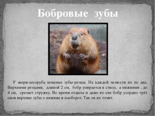 Бобровые зубы У зверя-лесоруба мощные зубы-резцы. На каждой челюсти их по два