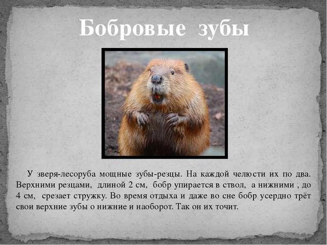 Бобровые зубы У зверя-лесоруба мощные зубы-резцы. На каждой челюсти их по два...