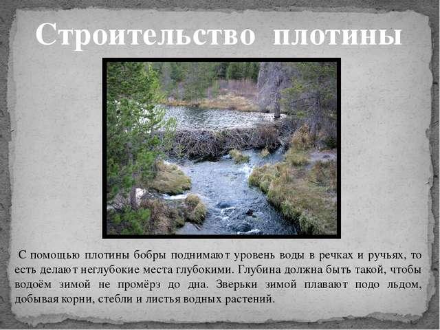 С помощью плотины бобры поднимают уровень воды в речках и ручьях, то есть де...