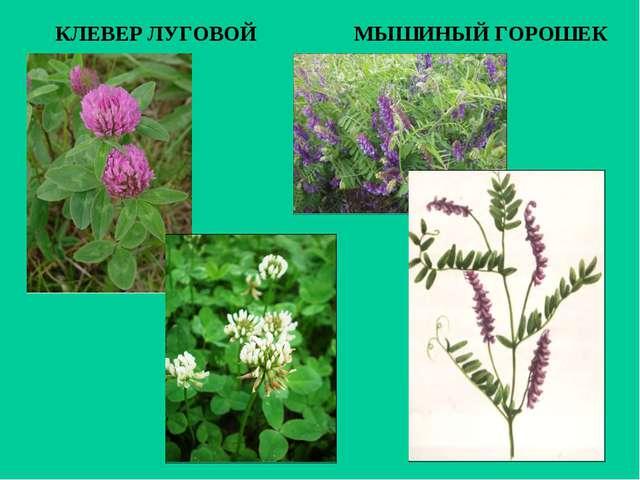 растения и животные луга реферат