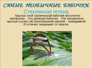САМЫЕ НЕОБЫЧНЫЕ БАБОЧКИ. Стеклянная гетера. Крылья этой тропической бабочки а