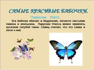 САМЫЕ КРАСИВЫЕ БАБОЧКИ. Парусник Улисс. Эта бабочка обитает в Индонезии, пита