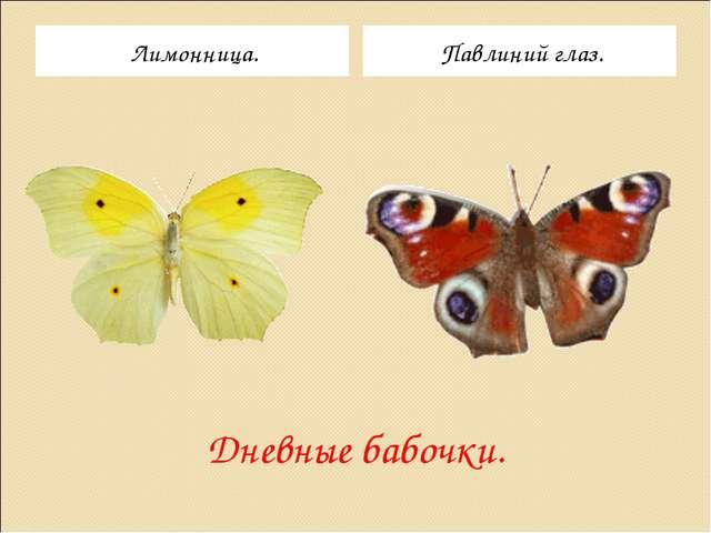 Дневные бабочки. Лимонница. Павлиний глаз.