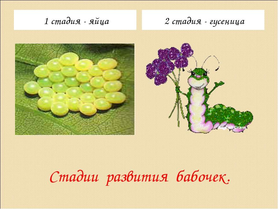 Стадии развития бабочек. 1 стадия - яйца 2 стадия - гусеница