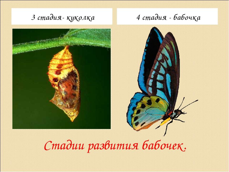 Стадии развития бабочек. 3 стадия- куколка 4 стадия - бабочка