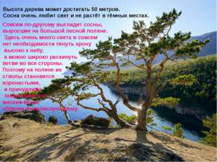 Высота дерева может достигать 50 метров. Сосна очень любит свет и не растёт