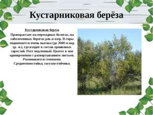 Кустарниковая берёза Кустарниковая береза Произрастает на переходных болотах,