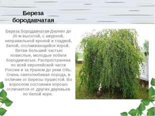 Береза бородавчатая Береза бородавчатая-Дерево до 20 м высотой, с ажурной, не