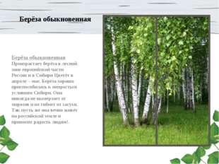 Берёза обыкновенная Берёза обыкновенная Произрастает берёза в лесной зоне евр