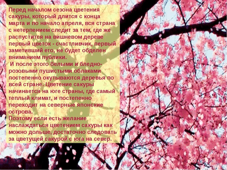 Перед началом сезона цветения сакуры, который длится с конца марта и по нача...