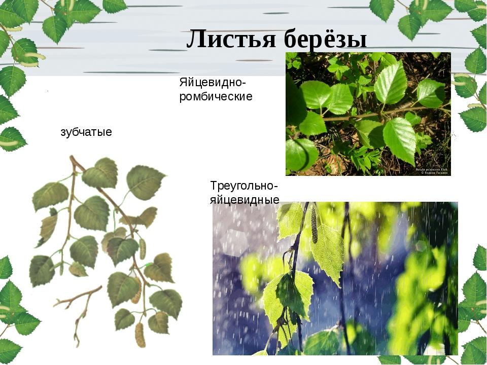 Листья берёзы зубчатые Яйцевидно-ромбические Треугольно-яйцевидные
