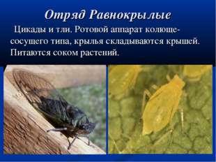 Отряд Равнокрылые Цикады и тли. Ротовой аппарат колюще-сосущего типа, крылья