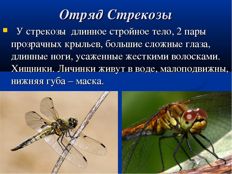 Отряд Стрекозы У стрекозы длинное стройное тело, 2 пары прозрачных крыльев, б...