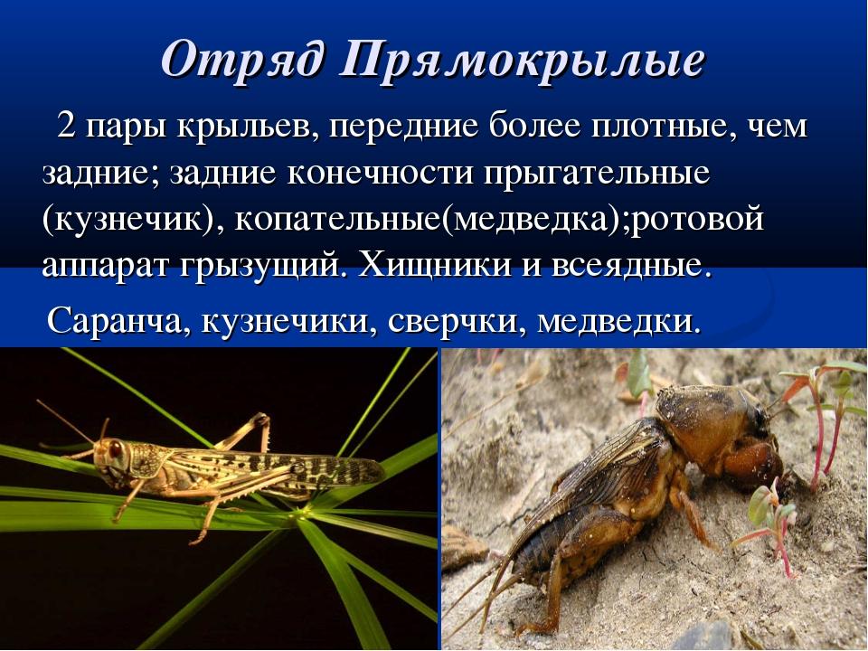 Отряд Прямокрылые 2 пары крыльев, передние более плотные, чем задние; задние...