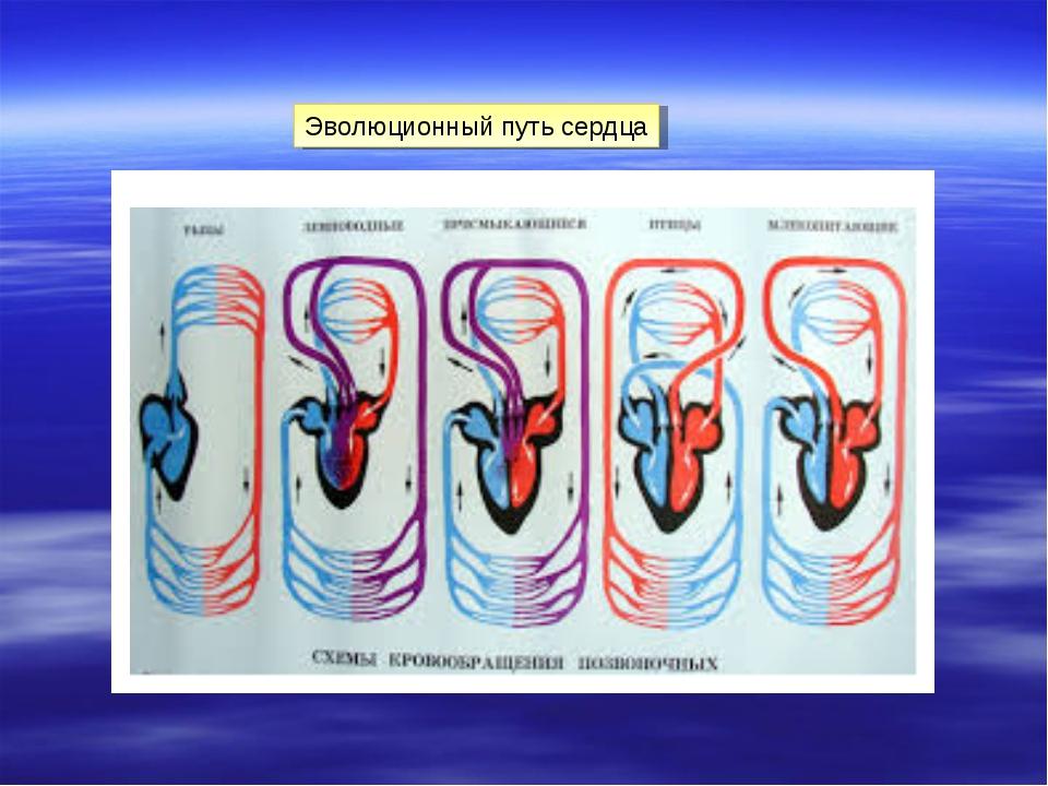 Эволюционный путь сердца