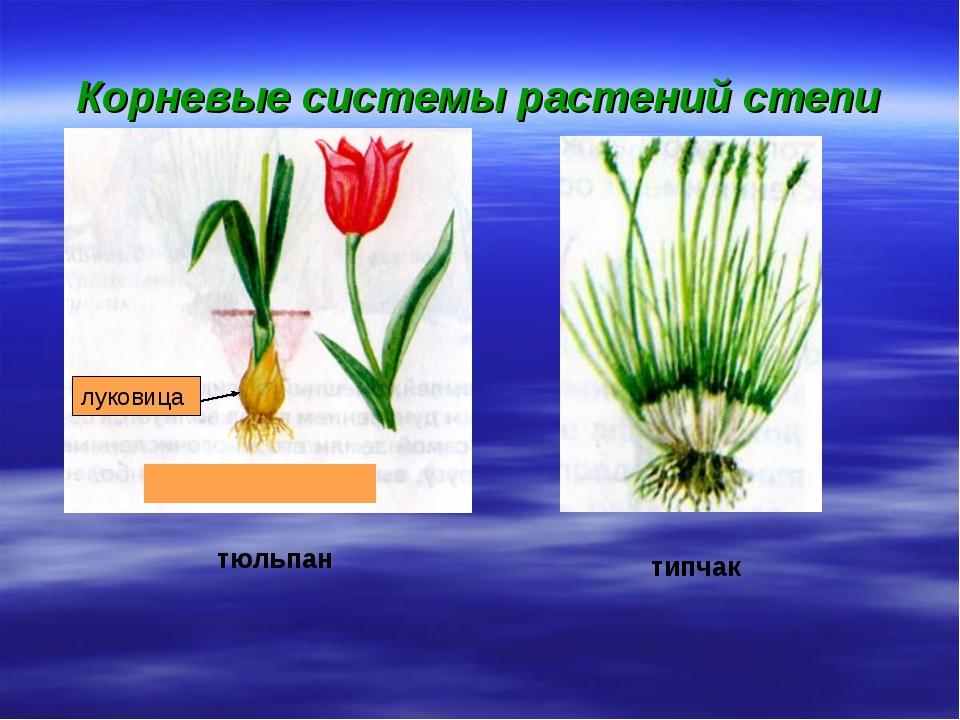 Корневые системы растений степи луковица тюльпан типчак