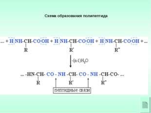 Схема образования полипептида