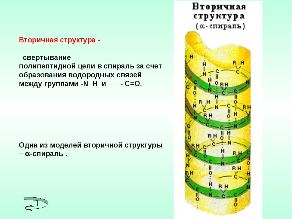 Вторичная структура - свертывание полипептидной цепи в спираль за счет образо...