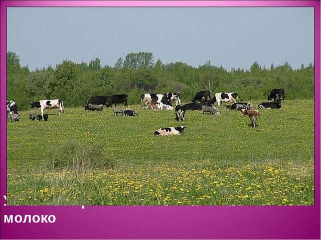 У наших коровок экологически чистое молоко