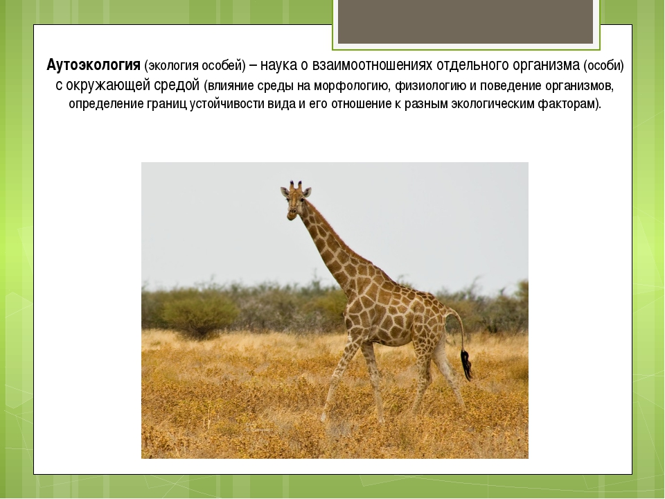 Аутоэкология (экология особей) – наука о взаимоотношениях отдельного организм...