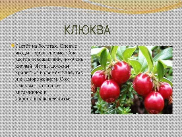 КЛЮКВА Растёт на болотах. Спелые ягоды – ярко-спелые. Сок всегда освежающий,...