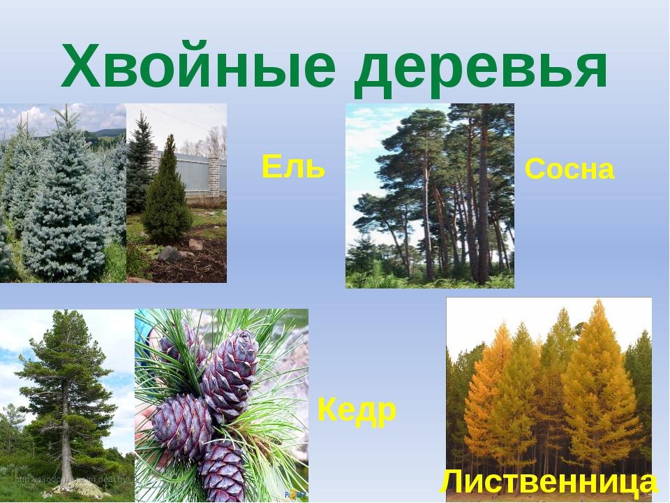 Хвойные деревья Ель Сосна Кедр Лиственница