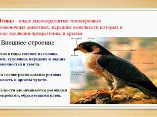 Птицы – класс высокоразвитых теплокровных позвоночных животных, передние коне