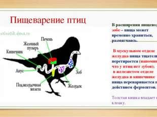 Пищеварение птиц В расширении пищевода – зобе – пища может временно храниться