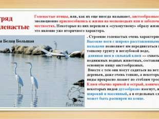 Отряд Голенастые Голенастые птицы, или, как их еще иногда называют, аистообра