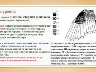 Оперение Перо состоит из очина, стержня и опахала (у пуховых перьев стержня н